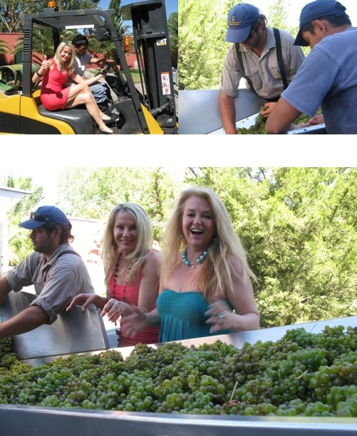 Our first day in the vineyards and at the winery had us busy participating at the sorting table as the first grapes were harvested for 2013, the Sauvignon Blanc.