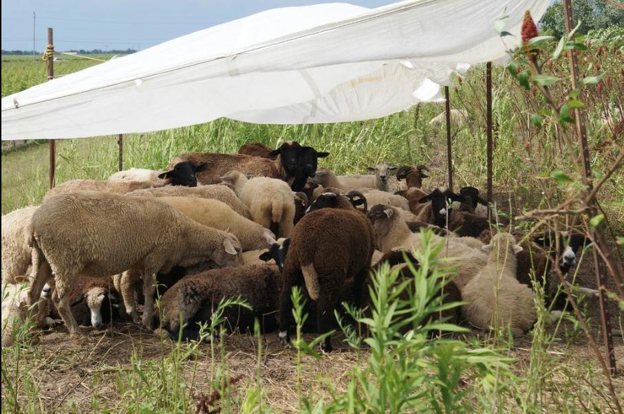Yoga in the Vineyard Organic Experience, Southbrook Vineyards.Sheep groom the vineyards.