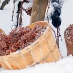 Ice wine grapes in barrels