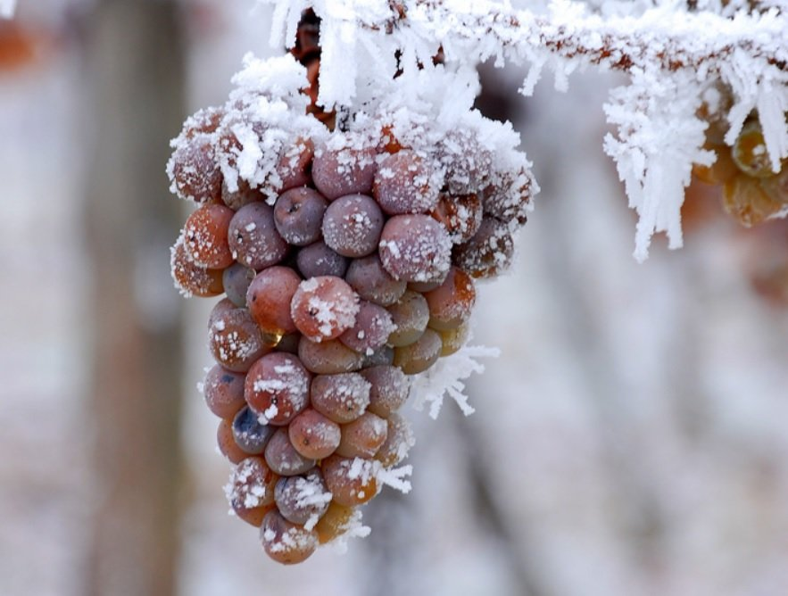 Icewine, Canada's Nectar of the Gods