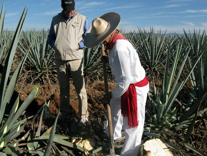 Agave plant being harvested.